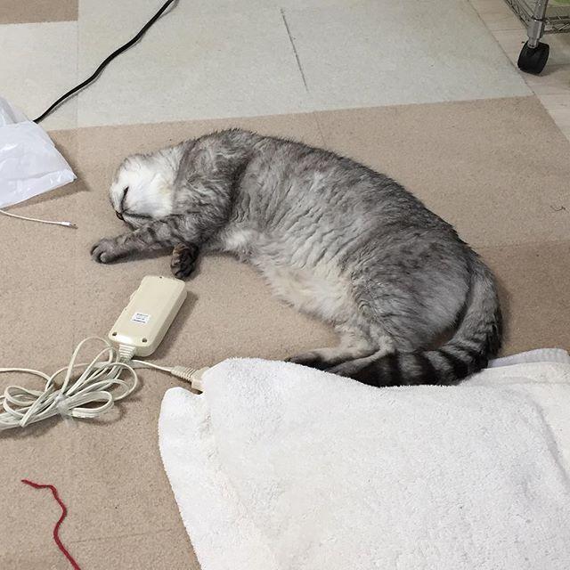 今日の午後。ふと見たらこんなことに(笑)気持ちよさそうにスヤスヤ寝ておりました♩#catstagram #tabbycat #cat #猫 #にゃんすたぐらむ