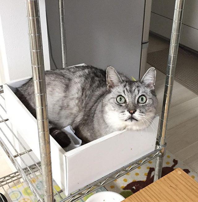 昨日のシュッとした顔はどうした?ぐらい思わせるモッフモフしまさん顔(^-^) #catstagram #tabbycat #cat #猫 #にゃんすたぐらむ