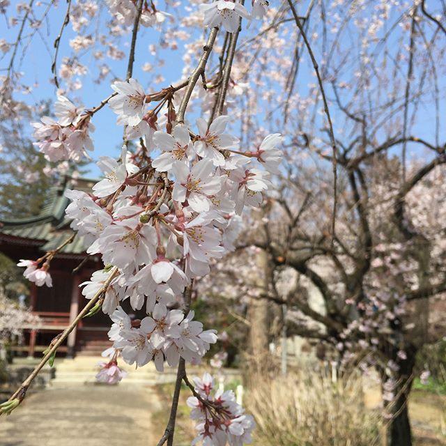 石岡も桜が満開。近所の常陸国分寺の桜が雰囲気があってとてもキレイでした。#茨城 #石岡 #桜 #さくら #cherryblossom