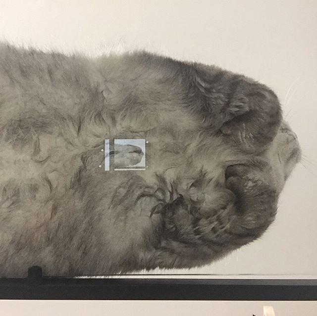 しまさんがガラステーブルの上に座っていたので、下から撮影 #catstagram #tabbycat #cat #猫 #にゃんすたぐらむ