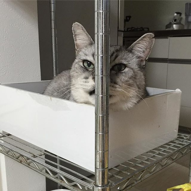 私の方を見ながら「ニャーニャー」なんかおっしゃっておりましたが、その棒、邪魔ではないんですかね⁈ しまさん…#tabbycat  #catstagram #cat #猫 #にゃんすたぐらむ