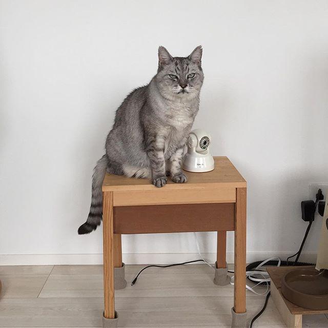 呼ばれたので振り向いたら、このお顔。一緒に遊びたいらしいです(^-^)#cat #catstagram #ねこ #にゃんすたぐらむ #tabbycat