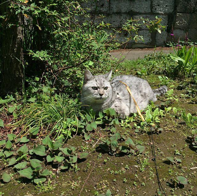 朝のネコパト。木の横でまったり休憩空き地もどんどん花や草が生えてきてなんだか楽しそうなしまさんでした#cat #tabbycat #猫 #にゃんすたぐらむ #catstagram