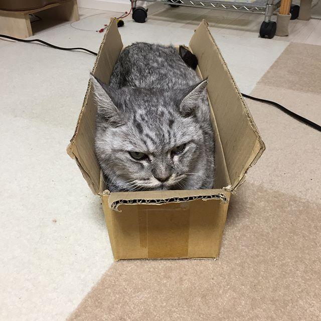 この箱はしまさんのアトラクション入ると人の肩の高さぐらいに持ち上げてあちこち移動してもらえるので楽しいらしい人もいい運動になって一石二鳥「写真とってないで早く持ち上げるにゃ!」催促かかりました…#tabbycat #cat #catstagram #猫 #にゃんすたぐらむ