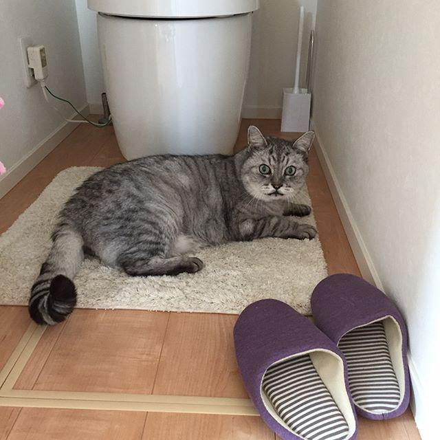 トイレを開けたら、先客が…。あっ、どうも失礼しました。#tabbycat #catstagram #cat #猫 #にゃんすたぐらむ