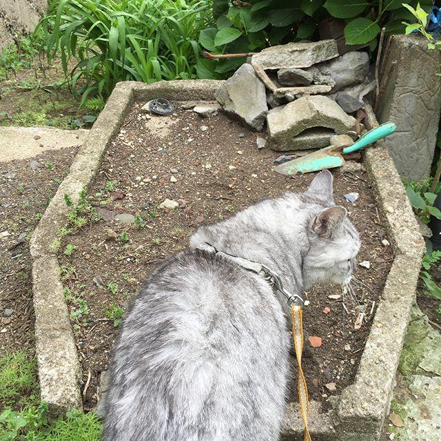 「ここはやっぱりトイレじゃにゃいかな…?」しばし、立ち止まるしまさん。雨が降る前の午前中のネコパトでした#tabbycat #cat #catstagram #猫 #にゃんすたぐらむ