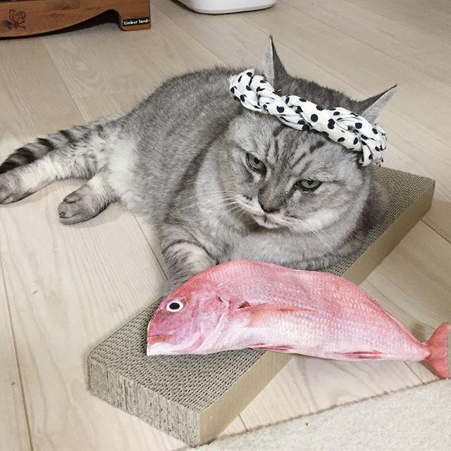 「ヘイ、らっしゃい。活きのいい魚入ってるよ!」しまさんは魚屋さんになりました#tabbycat #cat #catstagram #しまさん #猫 #にゃんすたぐらむ