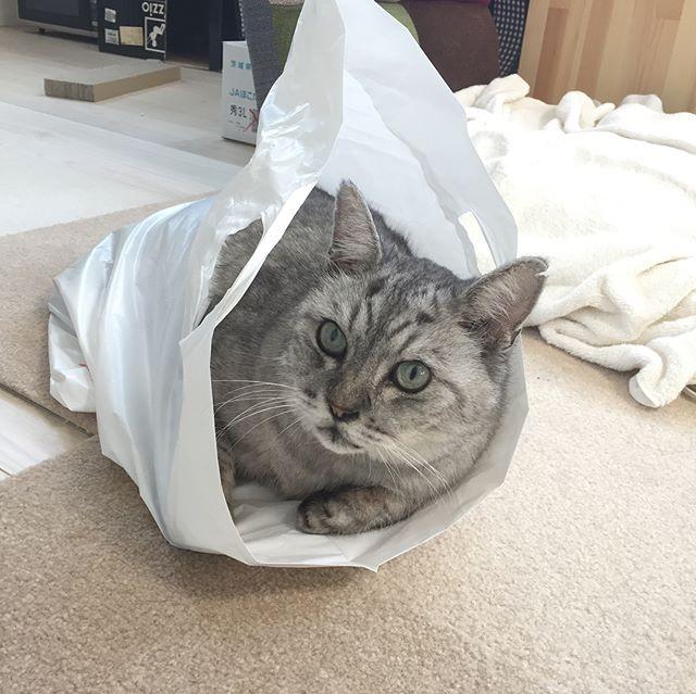ちょうどいい袋があったにゃ♪**#tabbycat #catstagram #猫 #にゃんすたぐらむ