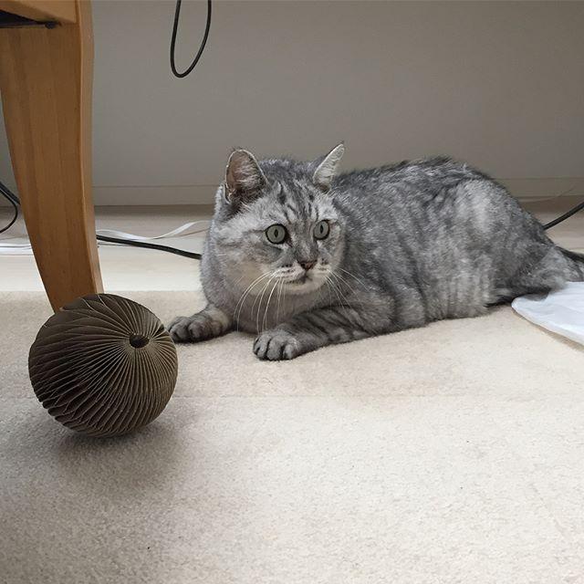 私が仕事をしている横で運動会をはじめたしまさん。そんなしまさんのシッポを誤って踏んでしまったら、めちゃ怒られました#tabbycat #cat #猫 #にゃんすたぐらむ
