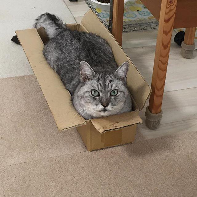 呼ばれて振り向くとツチノコっぽい奴がいた。#tabbycat #cat #catsofinstagram #にゃんすたぐらむ  #猫