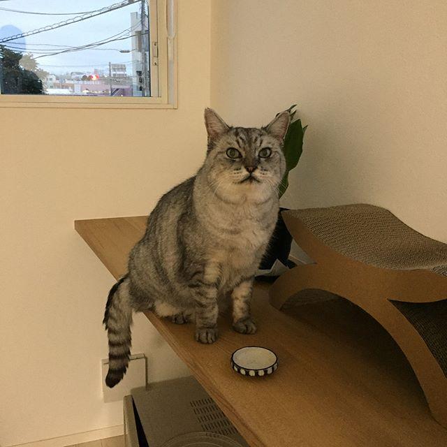 定期的な健康診断に行ってきたしまさん。帰ってきてから、「またたびを所望する」と、またたび用お皿の前でアピール。お疲れ様でした(^_^) #tabbycat #catstagram #にゃんすたぐらむ #猫