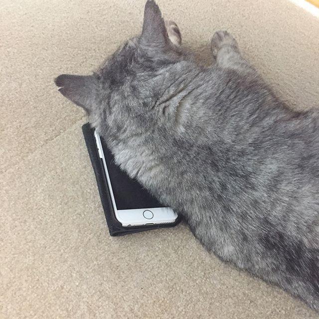 私のスマホが見つからない…と思ったら…。枕になっていました。#tabbycat #cat #catstagram #猫 #ねこすたぐらむ