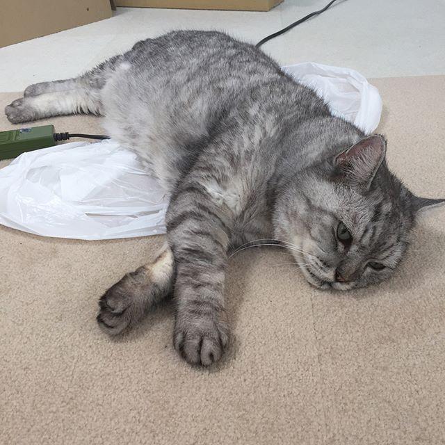 涼しいお部屋で今日もまったり。夏バテ知らずで、食欲もモリモリのしまさんです#cat #tabbycat  #猫 #にゃんすたぐらむ