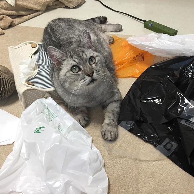 ビニール袋をいっぱい出してあげたら、なんだか、ワクワク嬉しそう ビニール好きにはたまらないにゃ。#catsofinstagram #cat #ねこ