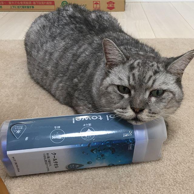 あごのせ(^-^)しまさんは、最近、エアコンの風が当たる涼しい場所を陣取ります。今年の夏はほんと暑いからねぇ。#cat #catstagram #猫 #にゃんすたぐらむ