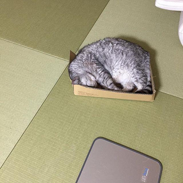 冷房の無い部屋も、冷房のゆるいリビングもどこでも好きな所へ行けるのに、一番冷房がかかっている和室にワザワザ行くしまさん…。ネコかな…? #catstagram #cat #猫 #にゃんすたぐらむ