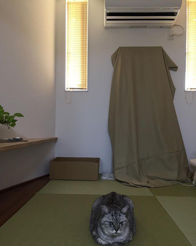 今日もさらに暑いしまさんは、また、エアコンの前で涼んでおります。そして、今日もごはんモリモリ食べて頼もしいしまさんです#cat #catstagram #tabbycat #猫 #にゃんすたぐらむ