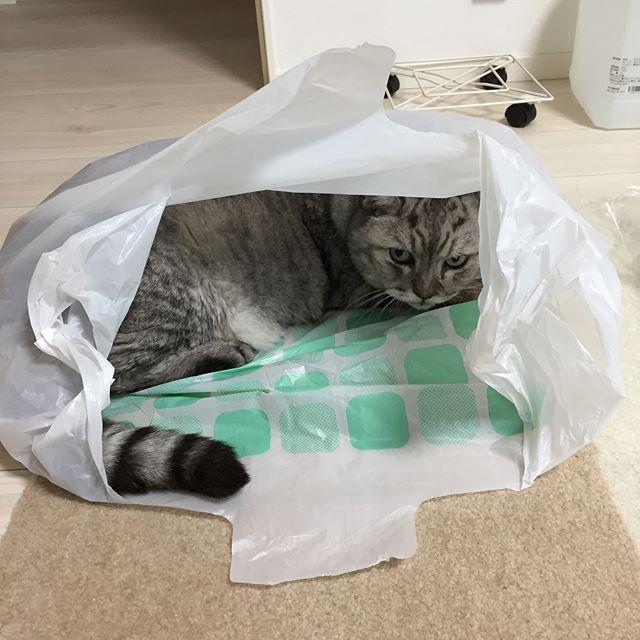 ねこ in ダイソーのレジ袋#tabbycat #cat #catstagram #にゃんすたぐらむ #猫