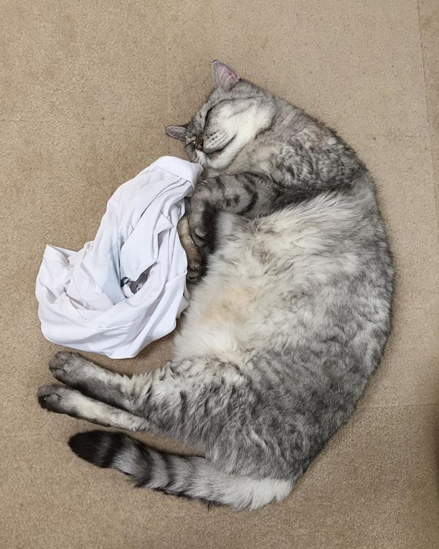 一緒にゴロゴロしてる時に私だけ起きてその場を離れようとするとついてくるので、着ていたTシャツを置いて行くと安心して寝続けるしまさん#tabbycat #catstagram #cat #にゃんすたぐらむ #猫