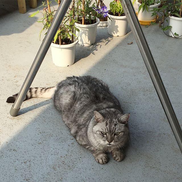 朝の水やりにつきあってくれるしまさん。日陰で待機朝顔の匂いを嗅ぎます(朝顔は絶対食べちゃダメ)水やりが終わると、「よし!」という感じで部屋に戻るしまさんです#tabbycat #にゃんすたぐらむ #cat #猫 #変化朝顔 #朝顔