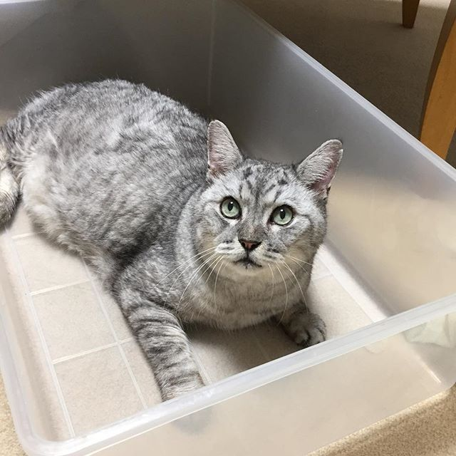 収納ケースを捨てようとしたら「あ、じゃ、おれ、つかいます」と申し出が…。 #tabbycat #cat #catstagram #にゃんすたぐらむ #猫