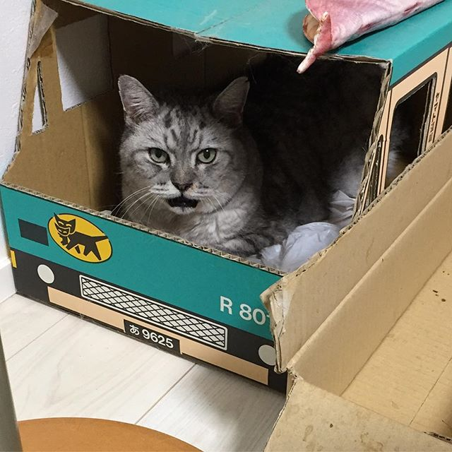 いないと思ったら…しまネコヤマトでお仕事中でしたか。#tabbycat #cat #猫 #にゃんすたぐらむ