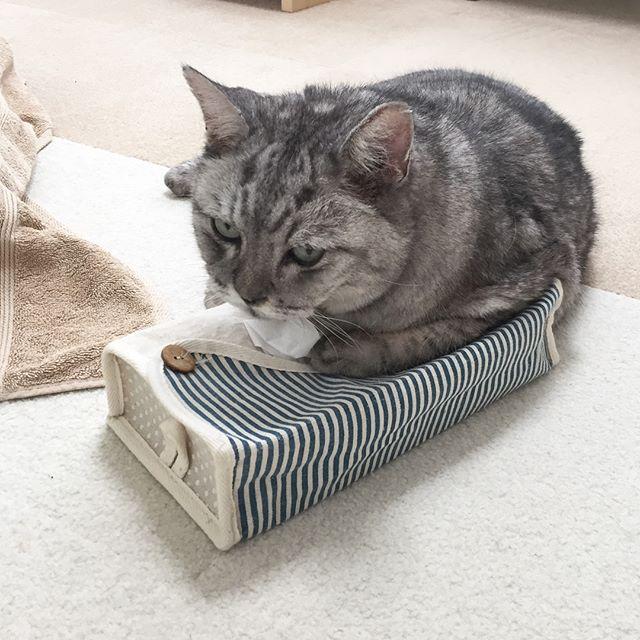 ティッシュはおやつと交換にゃ。今日はほんと暑すぎる…37度って、どういうこと… #cat #tabbycat #猫