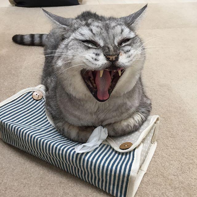 今日もティッシュは使えない。#tabbycat #cat #にゃんすたぐらむ #catstagram #猫