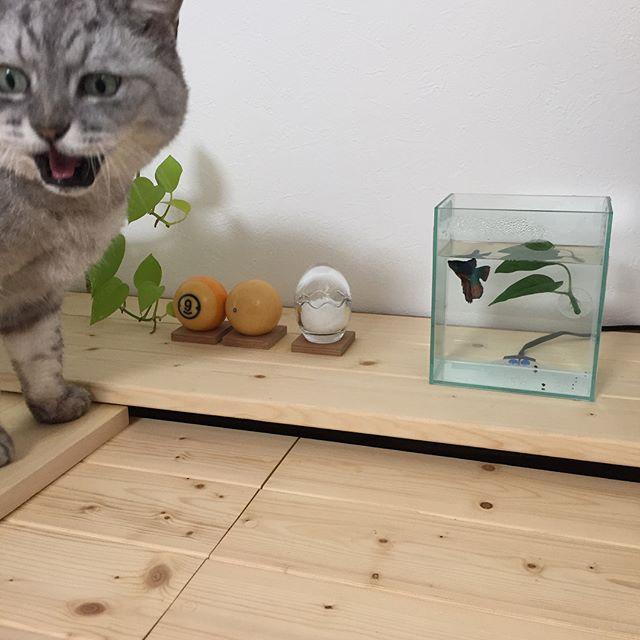 お魚「ベタ」を飼いました 青と赤がキレイですしまさんに見せたら「なんじゃこれー」みたいな顔(笑)ちなみに、ベタの居場所はしまさんが入らないダンナの仕事部屋。ときどきこっそり、しまさんとお魚鑑賞をしようと思います(笑)#にゃんすたぐらむ #ベタ #catstagram #猫 #闘魚 #ねこ