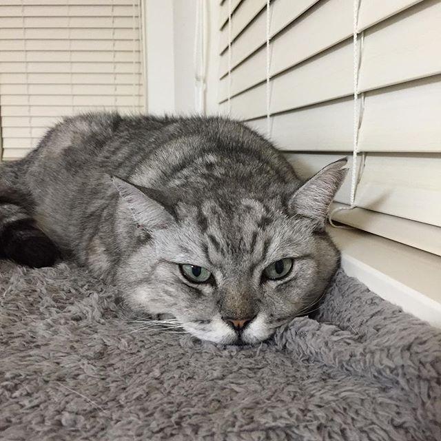 しまさんの今の様子。平べったくなってる#cat #catstagram #猫 #にゃんすたぐらむ