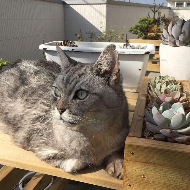 今日は天気が良かったので、多肉植物を日当たりのいい台に並べていたら、「ここはおれの場所にゃ」と一番いい場所を占領されてしまいました。午前中、ベランダで気持ちよさそうにうとうとしていたしまさんでした #cat #猫 #多肉植物