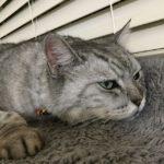 セリアで見つけたハロウィン首輪。しまさん、毛が長いので埋まっちゃうけどいい感じ♩#cat #にゃんすたぐらむ