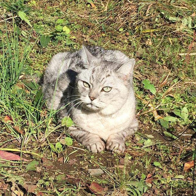 今朝は朝から玄関前で、「ネコパトに行く!」とアピールをがんばったしまさん。行くと決めたらもう絶対あきらめないでアピールをがんばるしまさん…。玄関前で1時間なんて軽く待ちます。意志が強いというか…強情というか…私の都合は無視らしい(笑)#cat #猫
