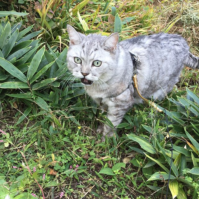 今朝は絶対ネコパトに行く!とアピールをがんばったしまさん。天気がいい日は気持ちいいのにゃ!#cat #猫