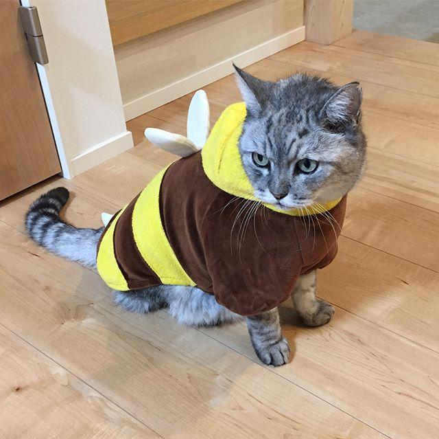 ハロウィンなので…昔のはちっこの洋服を出してきましたハロウィンネコウィン 「ミツバチになろうかーしまー」と言いたかったところを「はちみつになろうかーしまー」と言ってしまい、横から「そりゃ、猫、ベタベタになるな。」と言われてしまいました…#cat #猫 #ハロウィン仮装