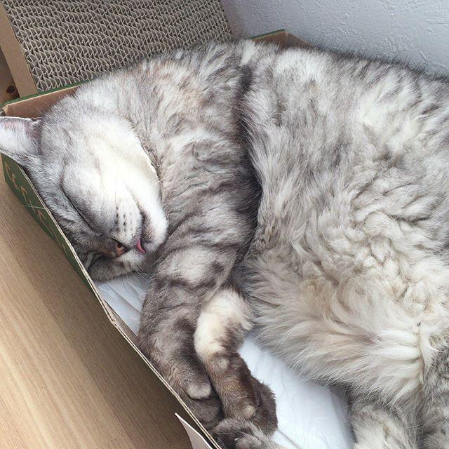 しまさん、お昼寝。スースー熟睡中。モフりたい #にゃんすたぐらむ #catstagram #猫