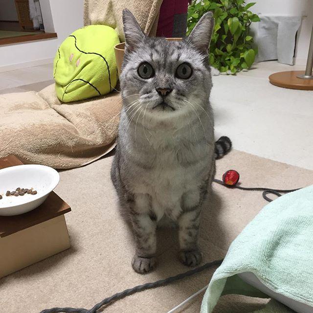 何かを言いに来た!見つめられてる(笑)見つめるだけで、何も言わないしまさん(笑)#cat #ねこ #catstagram #にやんすたぐらむ #猫 #さばしろ