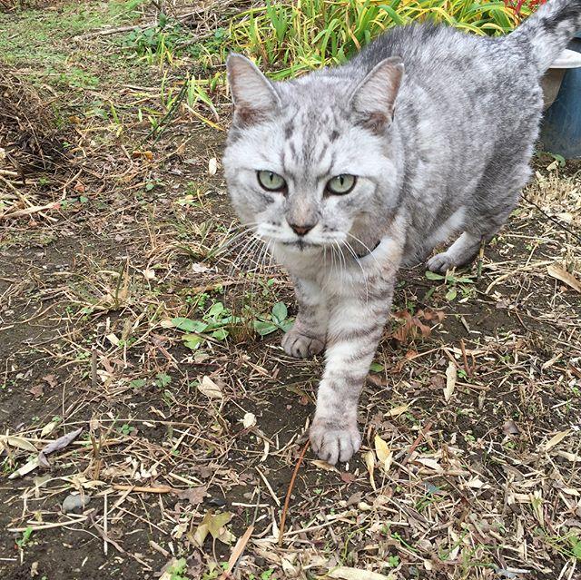 今日午前中のお散歩しまさん。散歩が嬉しいらしく、ぴょんと一段高いとこに飛び乗ったり、ちょっと走ってみたり、草の中に入ってみたり♩時々、私に何か話しかけてくる。#cat #catstagram #猫 #ねこ #散歩 #にゃんすたぐらむ #ねこすたぐらむ