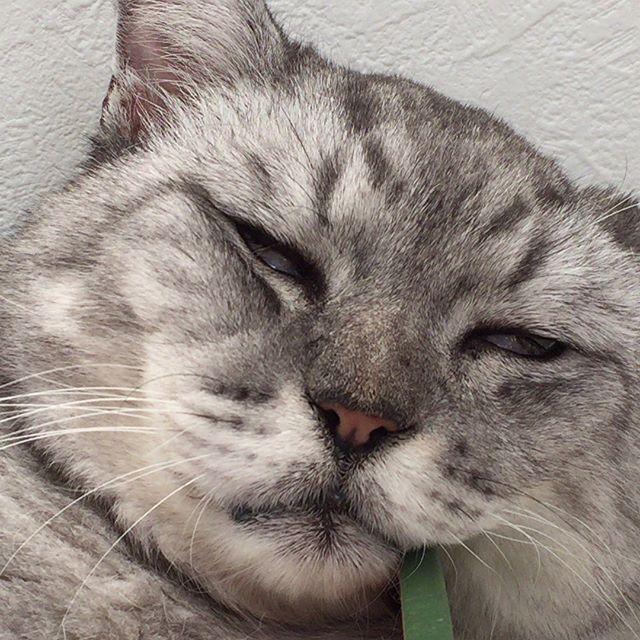 お昼寝していた時のしまさんの顔…。白目やばい…(笑)ピクピクしてる(笑) ・・#ねこすたぐらむ #にゃんすたぐらむ #catstagram #cat #猫 #ねこ