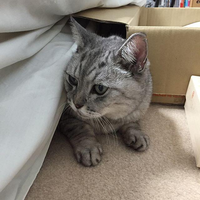 こたつにもぐりっぱなしだと、暑い…。こたつから出ちゃうと寒い…。なので、時々、自分でこのスタイル!こたつの使い方あってるよ、しまさん…#cat #ねこ #ねこすたぐらむ #にやんすたぐらむ #こたつ #こたつねこ #catstagram