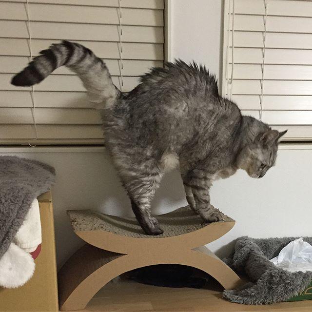 爪とぎガリガリからのごはんくれにゃー♩...#cat #catstagram #猫 #にゃんすたぐらむ #爪とぎ