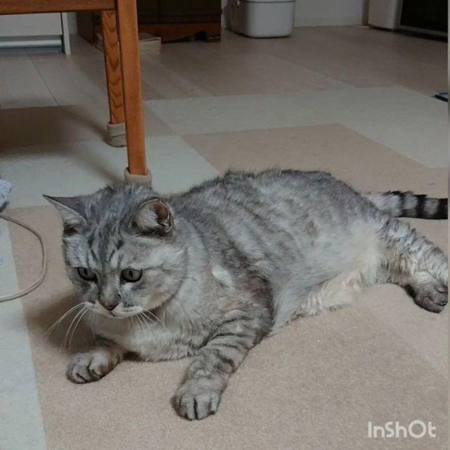 もう15歳くらいなるしまさんだけど、気持ちはまだまだ若いのですお気に入りのねずみさんが気になるしまさん..インスタに動画載せたのはじめてだっけ…..#catstagram#cat #猫