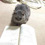 本を開きっぱなしにして、部屋を出て、戻ってきたら、しまが本を読んでいた…。やるな。・・・#catstagram #cat #ねこ #本を読む猫 #にゃんすたぐらむ