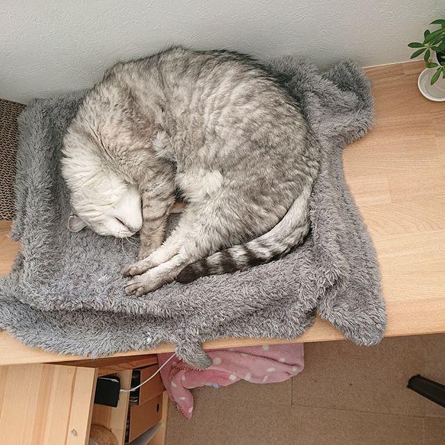 猫様の日。しまの日。今日もまったり。...#catstagram #cat #猫の日 #猫 #にゃんすたぐらむ