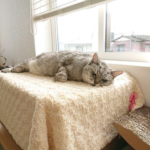 春だねー。お気に入りの場所で、ゴロゴロまったり。#ねこ #catstagram #cat #にゃんすたぐらむ