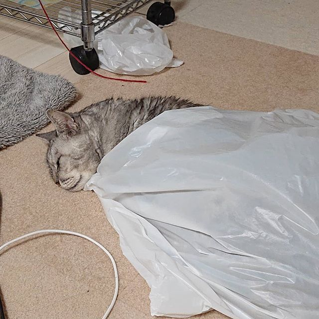 昨晩のビニールに入り込み寝てしまったしまさんすやすや~..#猫 #にゃんすたぐらむ #cat #catstagram