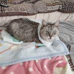 朝起きたら、私の横でこんなことになっていたしまさん。私が起きるのをじっと待っていたらしい。なんか言えばいいのに(笑)#catstagram #cat #猫 #にゃんすたぐらむ