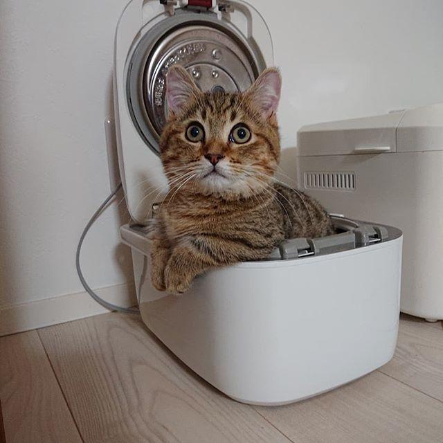 炊飯器猫…気づいたらこんなことに…。 (本物のごはんは入ってなかったのでご安心ください♪) #cat#catstagram #ねこ#ねこすたぐらむ