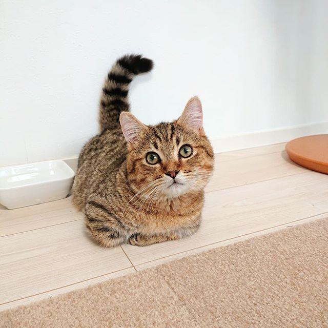 座ってるのに、シッポはピン!手足が短くて香合座りもなんだか…(笑)#cat#catstagram #猫#ねこ #ミヌエット