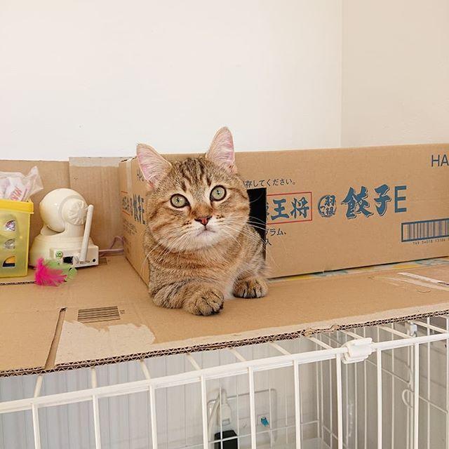 最近は、スーパーでもらってきた餃子の箱がお気に入りのタビ。タビさんは、今週木曜日去勢予定です。ねこ的に切ないねえ…ま、しょうがない…(笑)少しは暴れん坊将軍から落ち着くかな…。...#猫#ねこ#にゃんすたぐらむ#catstagram#cat#minutes#ミヌエット#子猫